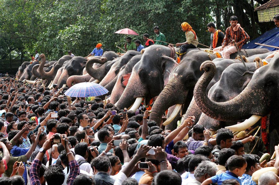 Temple Elephants fed in Kerala